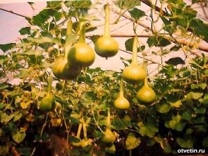Как увеличить урожай псудной тыквы