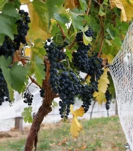 Уход за саженцами винограда
