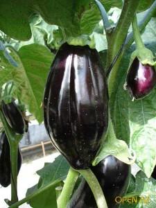 В августе  прищипывают  бобы, брюссельскаю капусту, бахчевые культуры