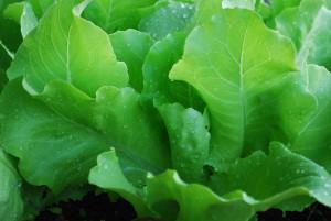 Выращивание зелени в августе:сеем укроп, листовые салаты, листовую горчицу, кресс-салат