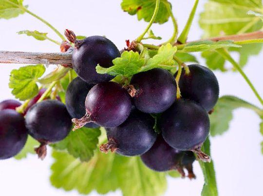 Йошта:применение ягод в кулинарии | СуперСадовник