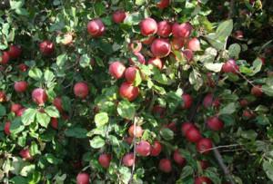Зачем прореживать завязи на фруктовых деревьях