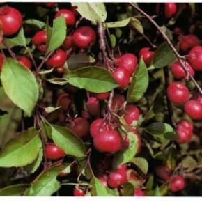 Райские яблони - будто из сказки