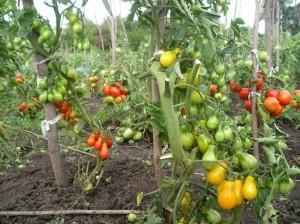 Полезные свойства жёлтых томатов