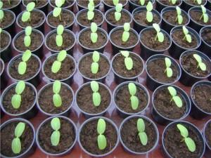 Когда высевать семена перца на грядки