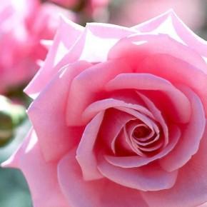 Пионоподобные розы - розовые, красные и кустовые с фото