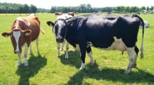 Какой рацион должен быть у коров голштино - фризской породы