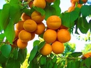 Как выращивать саженцы абрикоса