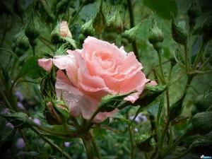 Старейшая в мире роза растет в Германии