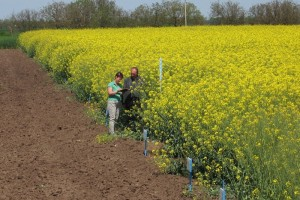Агрономическая польза от выращивания рапса