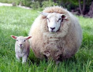 Когда пора случать овец