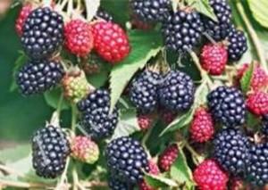 Ежевика в Украине является экологически чистым продуктом