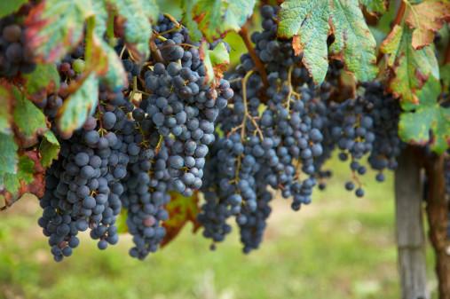 Как ухаживать за виноградом в жару