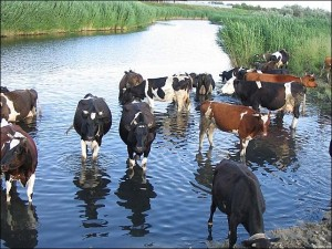 Что должен знать пастух,выпасая коров