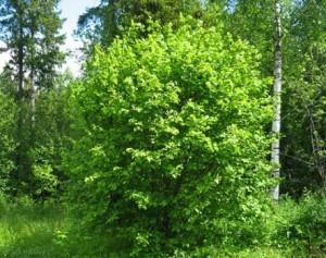 Можно ли посадить орешник с леса на участке