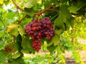 Как правильно сажать черенки винограда?