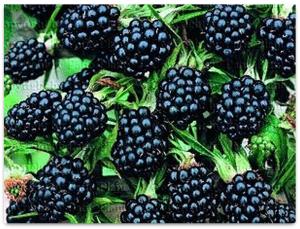 Как получить высокий урожай качественных плодов ежевики