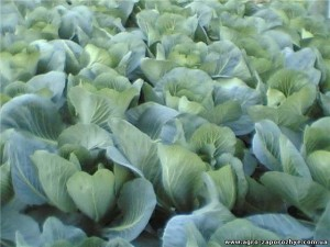Надо ли удобрять рассаду капусты