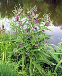 Окопник - лидер среди растений по содержанию колия