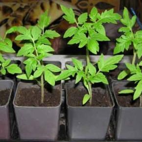 Выращивание капусты:рассада или семена