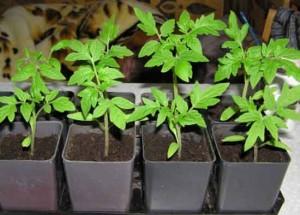 Безрассадный и рассадный способы выращивания томатов