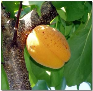 Как за год сформировать абрикос