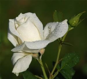 Бутоны самой маленькой розы сорта Си  не больше зернышка риса