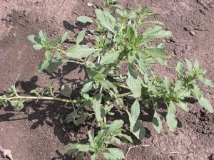 Компост из зелённой массы:какие травы закладывать для огурцов,помидоров и фасоли