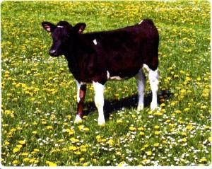Можно ли употреблять мясо молодых телят?
