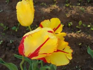 Пёстрые тюльпаны