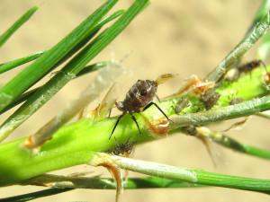Тля:методы борьбы с насекомыми