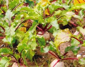 Новые методы выращивания семян свеклы