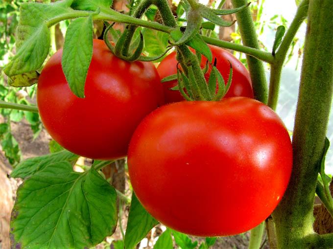 Как поддержать иммунитет томатов