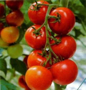 Ранние сорта помидор дают щедрый урожай