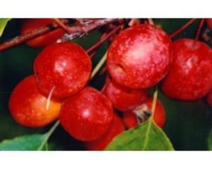 плакучая красноплодная яблоня