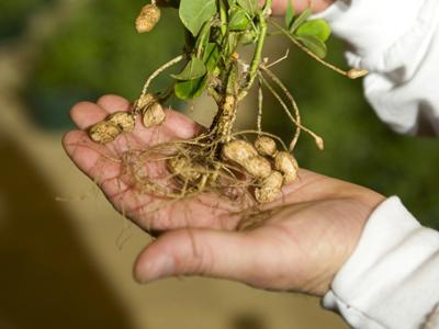 Выращивание арахиса на приусадебном участке