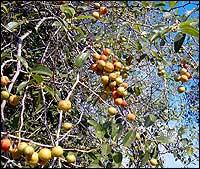Когда собирать плоды и листья зизифуса
