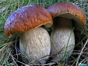 Какие грибы самые ценные