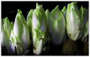 Выращивание салата витлуф
