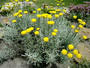 Что  это за растение - сантолина?