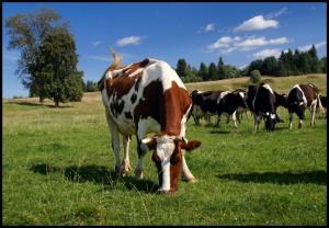 Как подготовить пастбище к выпасу коров