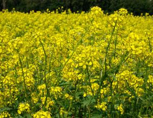 Сев проводится одновременно с уборкой зерновых или с минимальным разрывом во времени