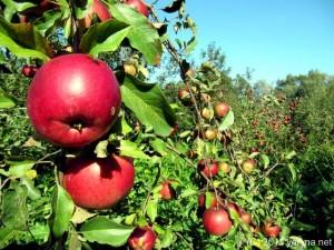 Как получать высокий урожай с плодовых деревьев?