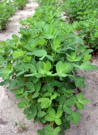 Особенности выращивания земляного ореха