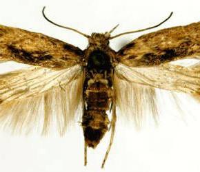 Картофельная моль:меры борьбы с насекомыми