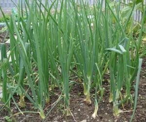 Луковый долгоносик на огороде