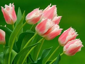 Как быстро развести тюльпаны