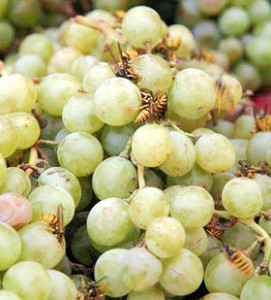 Осы в винограднике:беда для  виноградаря