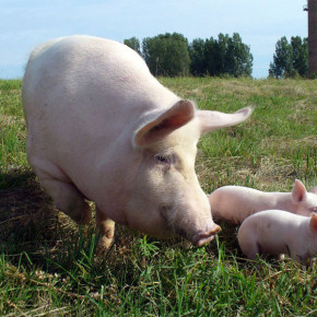 Как спрогнозировать затраты кормов для свиней?