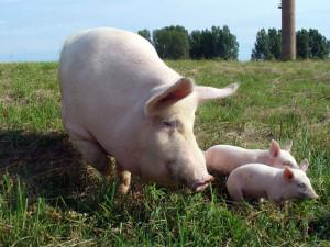 Как спрогнозировать затраты кормов для свиней